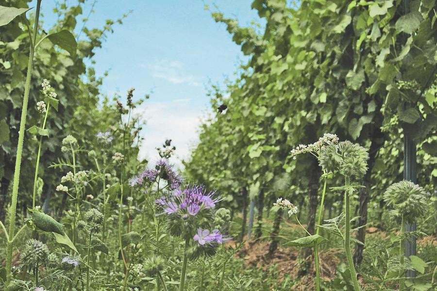 Crémant RosaRot als Sommerweinempfehlung